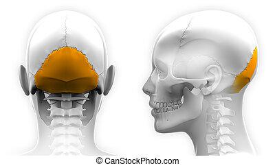 crâne, -, isolé, occipital, anatomie, femme, blanc, os