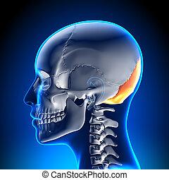 crâne, -, /, occipital, crâne, femme, os