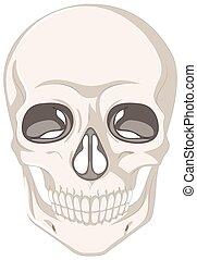 crânio humano, branco, fundo