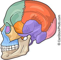 crânio humano, diagrama, ilustração