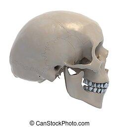crânio humano, ilustração, 3d