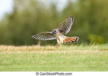 crécerelle, américain, (falco, sparverius)