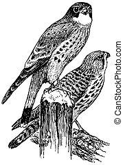 crécerelle, oiseaux, commun