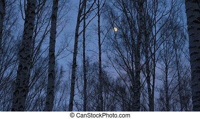 crépuscule, lune, bosquet, entiers, bouleau