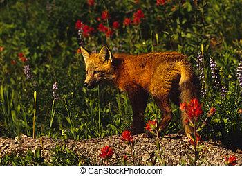 cría de zorro roja, en, registro