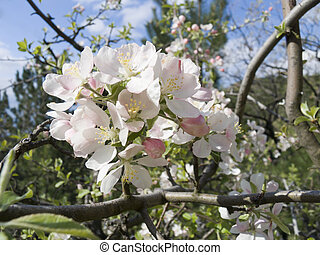 Crab apple blossoms in the spring