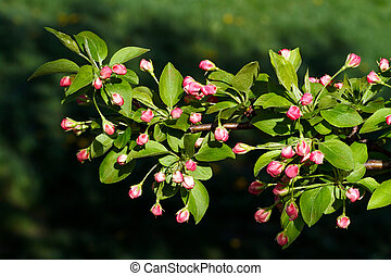 Flower buds on the limb of a flowering crab apple tree ready to open in bloom in the spring.