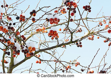 Crab apple tree with red fruit covered in snow
