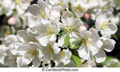 Crab Apple Tree with White Flowers
