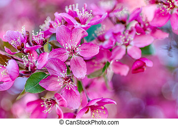 Crab Apple Trees in Spring Bloom - Close up of crab apple...