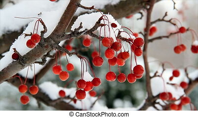 Crab Apples in the Snow HD - Vivid red crab apples hanging...