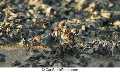 Crab crawling on a rock near sea and searching for food. Crab scaring another crab from it's territory and sending food into its mouth using claws. Phuket island, Thailand.