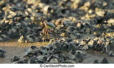 Crab crawling on a rock near sea and searching for food. the...