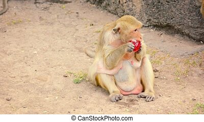 Video 1080p - Adult, female Crab Eating Macaque chews at a plastic bag to get at the sweet juice sealed inside, in Phra Prang Sam Yod, Thailand.
