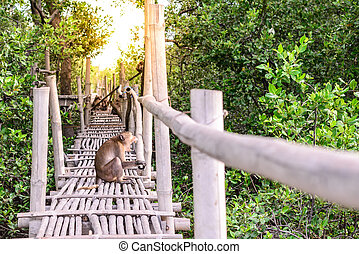 Crab-eating macaque monkey gaping on bamboo bridge in mangrove forest.