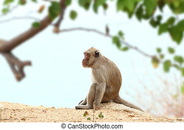 Crab-eating macaque monkey of southeast asia sitting on cliff