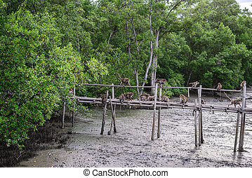 Crab-eating macaque monkeys funny on bamboo bridge in mangrove forest.