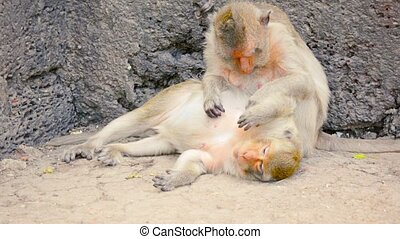 Video 1080p - Troop of Crab Eating Macaque monkeys, napping amongst the rocks and grooming each other in Phra Prang Sam Yod, in Thailand.
