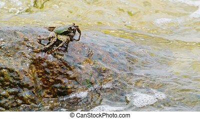 Crab eats algae from rocks in the sea waves