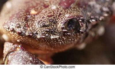 Macro Black Sea crab eyes