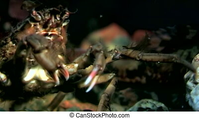 Crab hios close up underwater in search of food on seabed of...