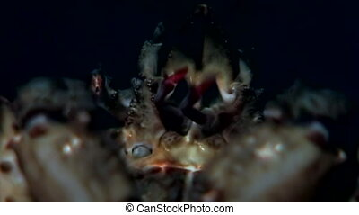 Crab hios grabbed booty with claws underwater on seabed of...