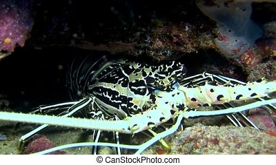 Crab hios underwater in search of food on seabed of...