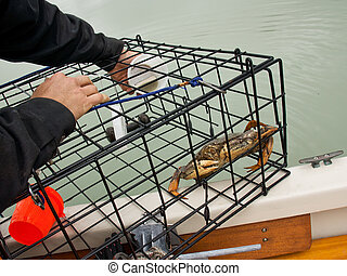 Crab in a Crab Pot - Dungeness crab in a small personal use...