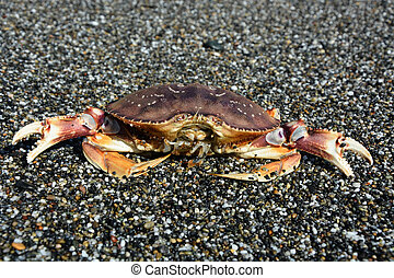 Crab on the Pacific ocean shore