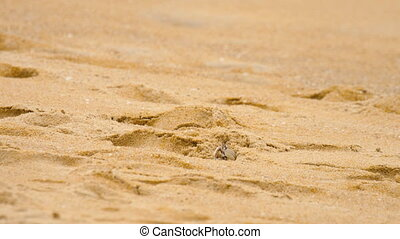 Crab on the sandy beach - A ghost crab digging sand to make...