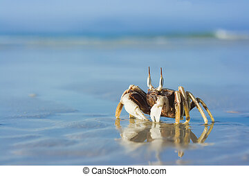 Crab on the tropical beach - reflection of crab on the...