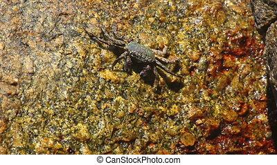 Crab seeking food on a rock.