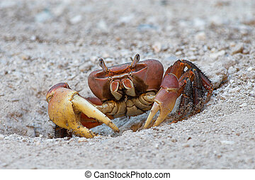 Crab sitting in front of its hiding hole.