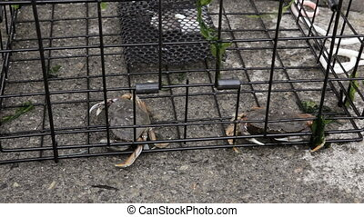 Crab Trap - Crabs in a trap