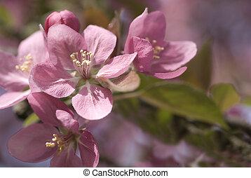 Crabapple Bloom