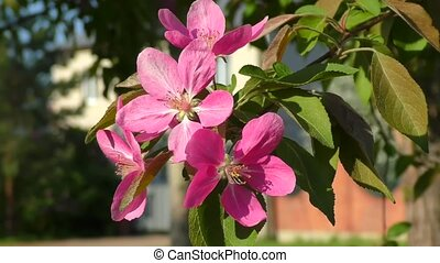 Crabapple flowers pink - Pink flowers of the Apple-tree