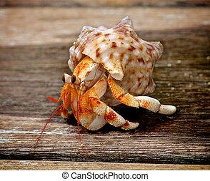 crabe, ermite