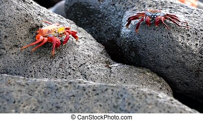 crabe, galapagos, sally, closeup, marche, lightfoot, -, pair.