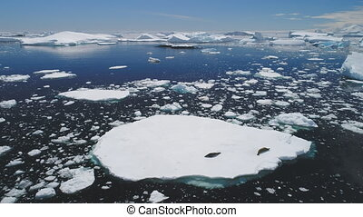 Crabeater seal family lies iceberg aerial view - Crabeater...