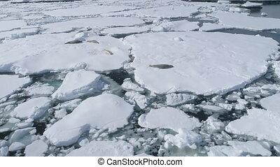 Crabeater seal iceberg antarctica wildlife - Crabeater Seal...