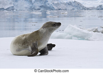 crabeater seal which lies on the ice in Antarctic waters