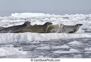 crabeater seals flock resting on an ice floe 1