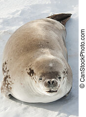 crabeater seals lying on the ice near the Antarctic Peninsula