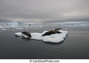 Crabeater seals on ice flow, Antarctica