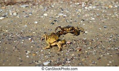 crabes, plage, deux, mer