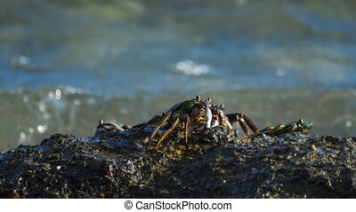Crabs on the rock at the beach - Crab on the rock at the...