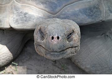 Craggy face of a Galapagos tortoise - Closeup of a Galapagos...