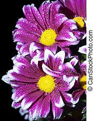 cramoisi, chrysanthème, buisson, branche