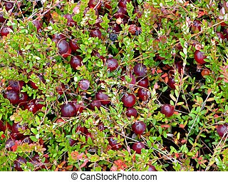 Cranberry background ( macro ) Indian garden farm...