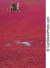 Cranberry Bog - A Farmer of Cranberries cultivates his crop...